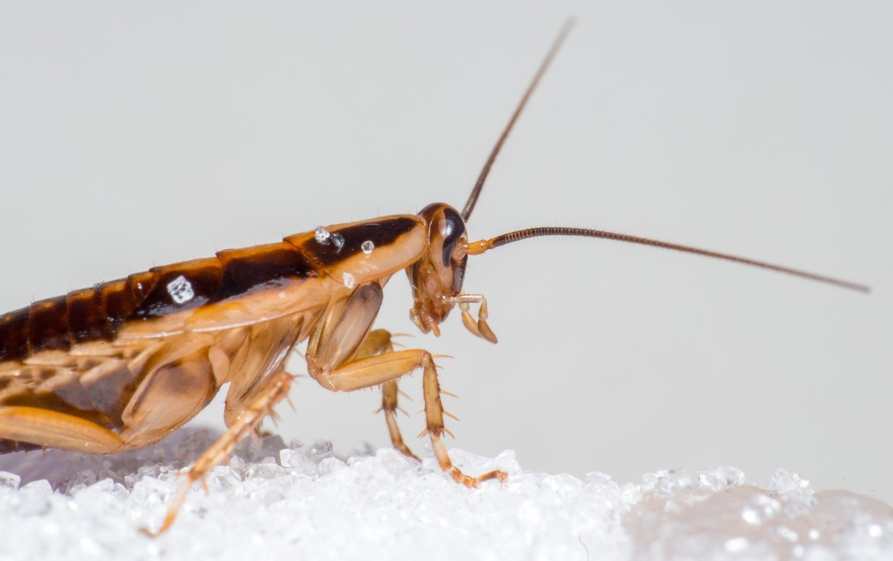 Is one cockroach a sign of infestation