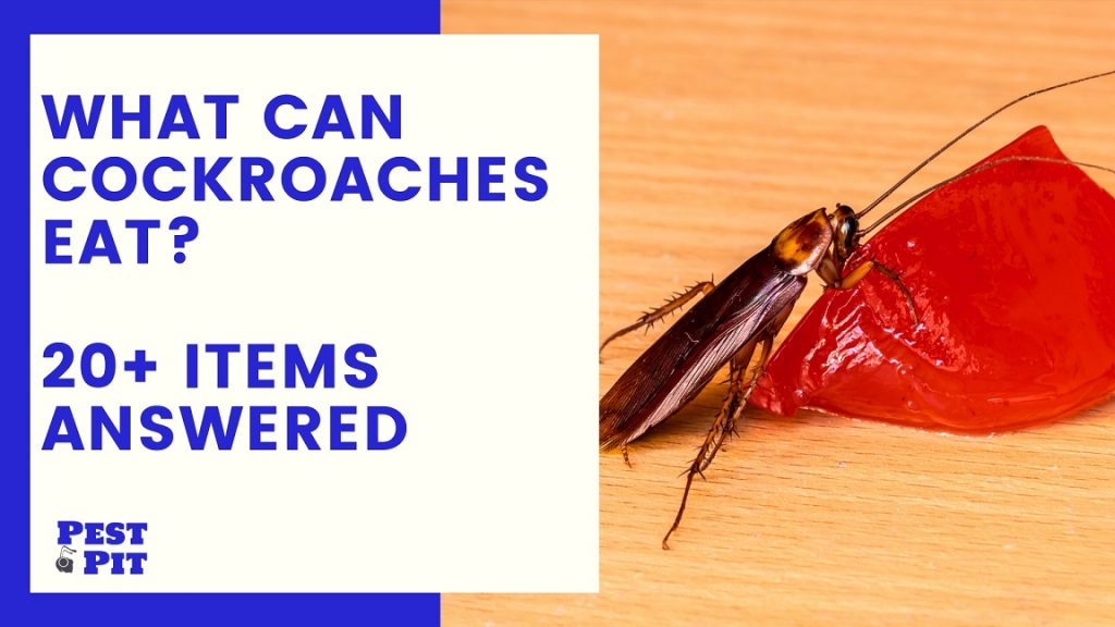 What Can Cockroaches Eat 20 Items and more Answered