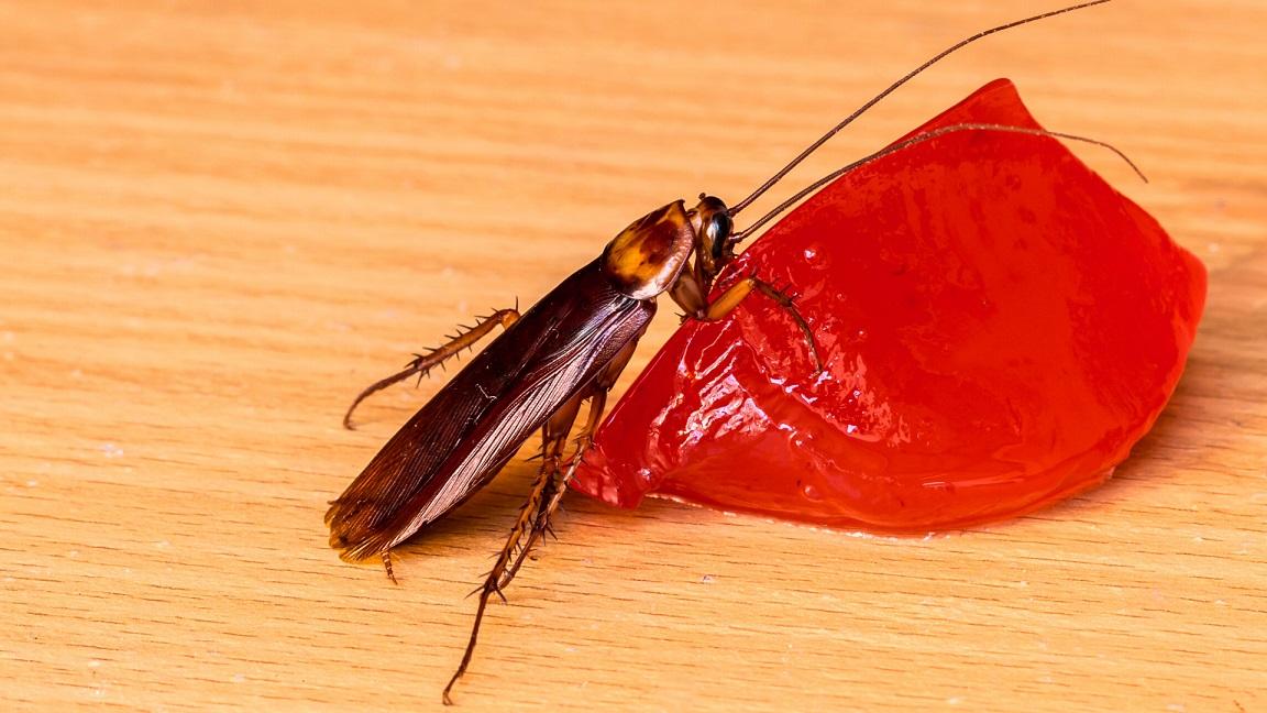 cockroach eating jello