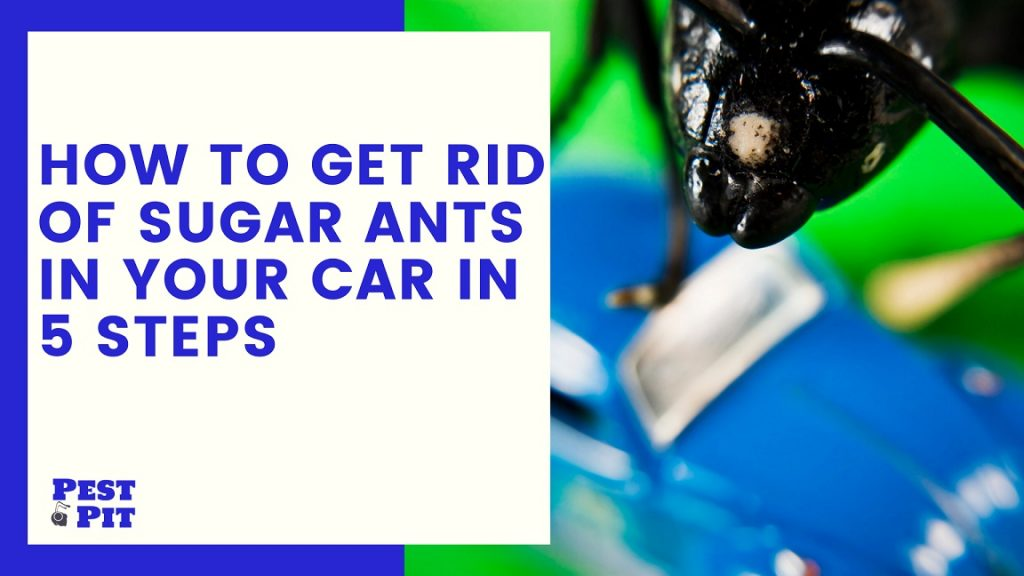 How To Get Rid Of Sugar Ants In Your Car In 5 Steps