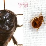 Bed Bug vs Cockroach: What Is The Difference?