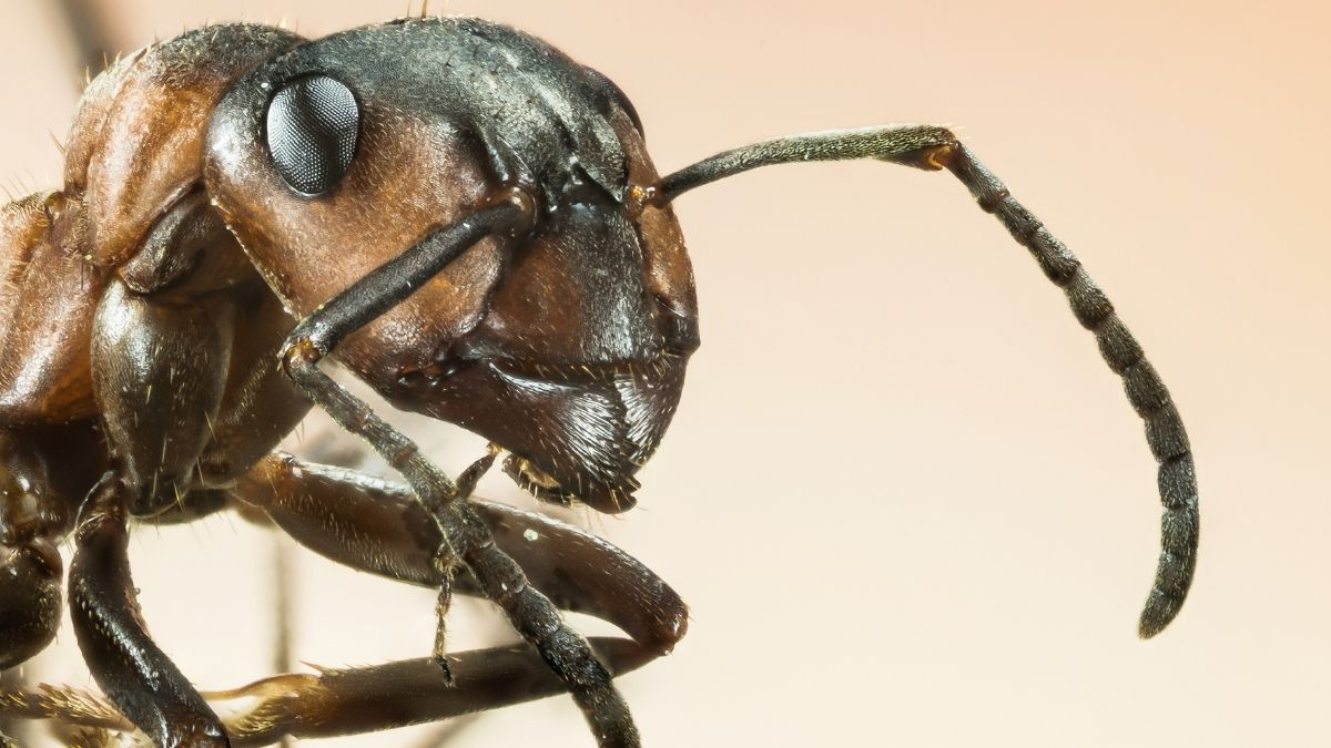 close up of an ant head