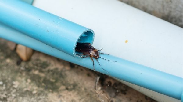 cockroach hiding in a pipe