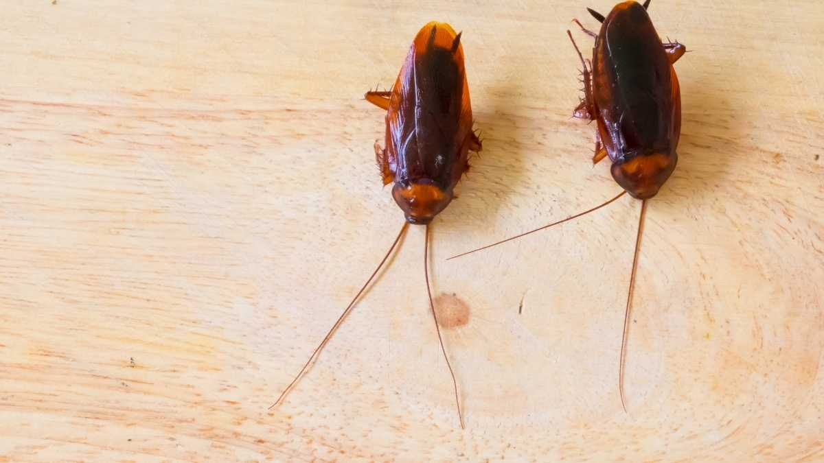 2 cockroaches inside a home