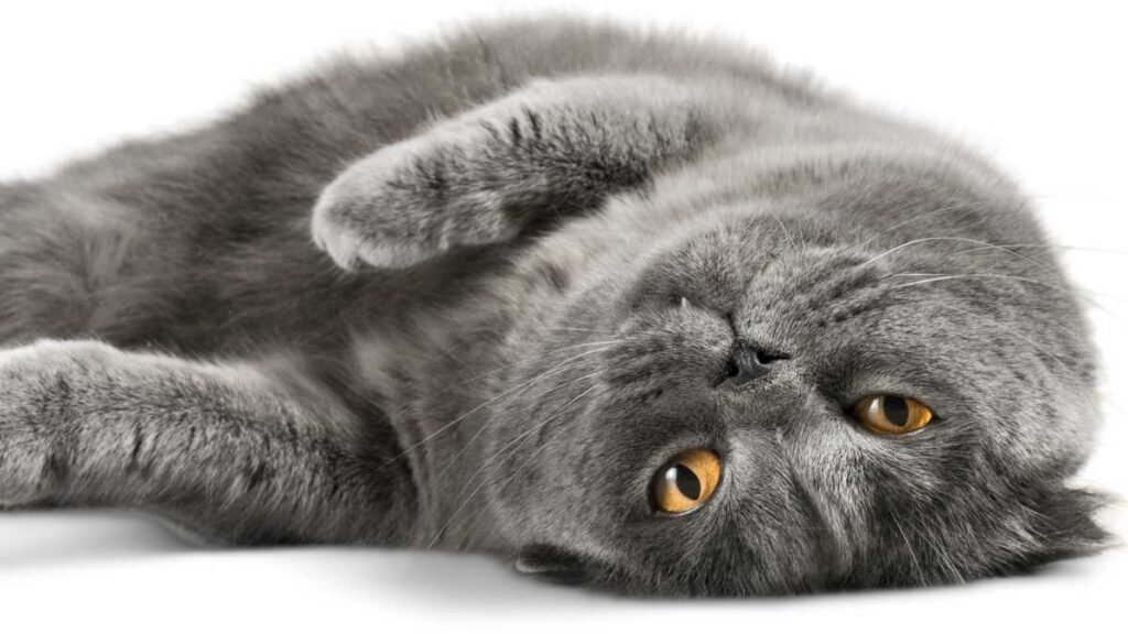 cat laying on back