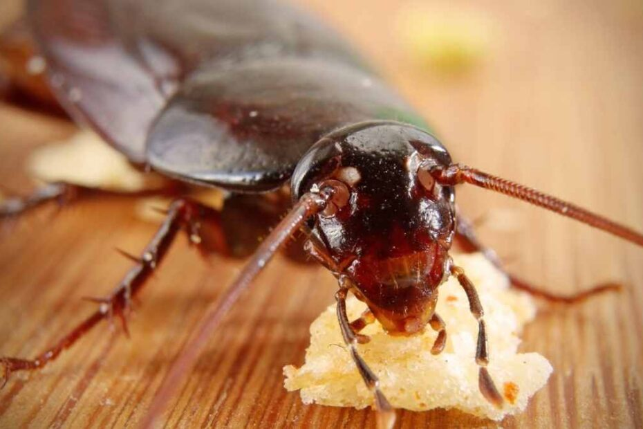 cockroach eating in apartment