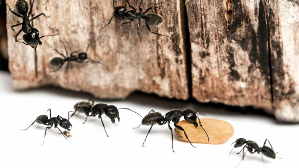 ants chewing food and climbing on wood