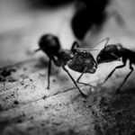 ants fighting on porch